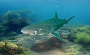 Есть ли акулы в Черном море?- разновидности