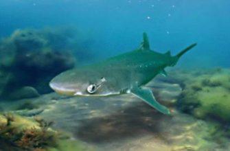 морда акулы