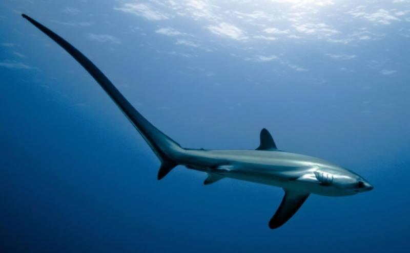 длинная акула